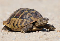 Turtle on sand, testudo hermanni Stock Photo