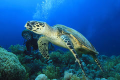 Turtle and Scuba Diver stock images