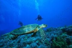 Turtle and Scuba Divers Stock Image