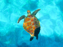 Turtle. A turtle in the sea Royalty Free Stock Images