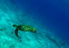 Cute sea turtle Stock Image