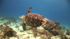 Turtle on the sea floor looking for food stock video