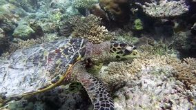 Turtle in the sea stock footage