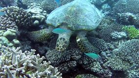 Turtle in the sea. Turtle looking for food among the corals stock video