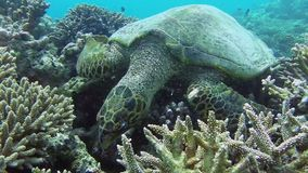 Turtle in the sea stock video footage