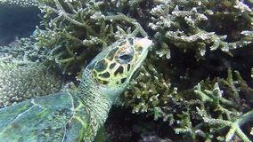 Turtle in the sea stock video