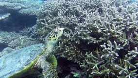 Turtle in the sea. Turtle looking for food among the corals stock footage