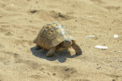 Turtle on the sea sand Royalty Free Stock Images