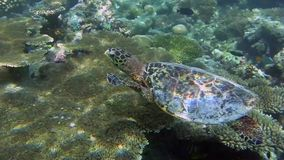 Turtle in the sea. Turtle swimming in the sea past coral stock video footage