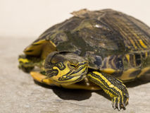 Turtle. Sea tortoise's head with yellow and green nuance Stock Image