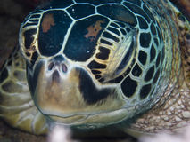 SeaTurtle Stock Image