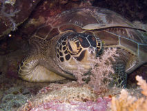 SeaTurtle1 Stock Photography
