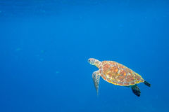 Turtle Sea in the water Royalty Free Stock Image