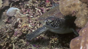 Turtle on seabed close up underwater of nature Philippines. Travel in world of unique colorful beautiful ecosystem nature coral, algae, fish. Inhabitants in stock video footage
