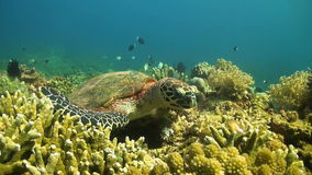 Turtle in search of food. Hawksbill turtle looking for food on a coral reef stock video