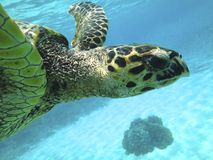 Turtle. Seaturtle Indonesia Underwater snorkeling Royalty Free Stock Photos