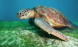 Turtle on seaweed bottom Royalty Free Stock Image