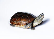 Turtle. Semi-aquatic Reeves Turtle. Also called a Chinese Pond Turtle Stock Images