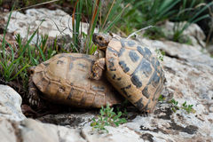 Turtle Sex: Slow and Steady Royalty Free Stock Photo