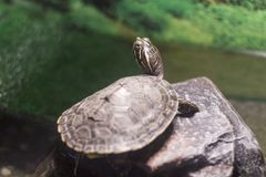Turtle shallow dof, River cooter. stock image