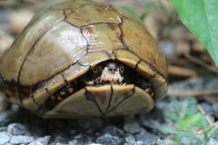 Turtle In Shell. A turtle with red spots hiding in shell royalty free stock image