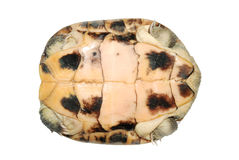 Turtle in shell. Isolated in white stock images
