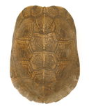 Turtle Shell. Isolation on white - Top View royalty free stock photography