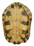 Turtle Shell. Isolation on white - Bottom View royalty free stock image
