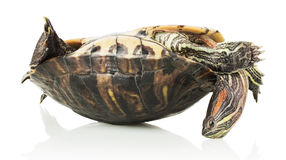 Turtle on the shell Stock Photography