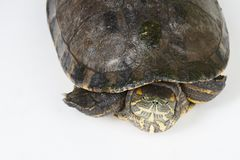 Turtle in shell. Isolated on white studio background above top view royalty free stock photo