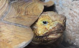 Turtle shell. Noggin eyes mouth  face looks gaze stare glance Royalty Free Stock Image