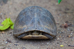 Turtle in shell Stock Photography