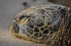 Turtle On The Shore. A Turtle relaxing on a shore in Honolulu Stock Photography