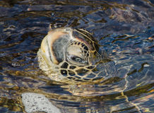 Turtle On The Shore. A Turtle in the water in Honolulu Royalty Free Stock Photos