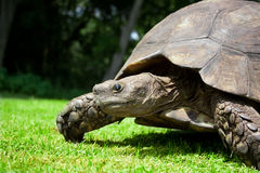 Turtle Side Royalty Free Stock Photo