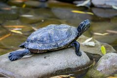 The turtle sits on a pebble near the water_. The turtle sits on a pebble near the water stock photos