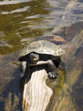 Turtle Sits on Tree Log Drift Wood in Clear Water. A turtle sits on a dry area of a driftwood log in the water Royalty Free Stock Image