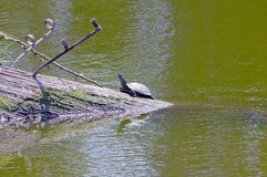 Turtle sits on a tree trunk in green water Stock Photo