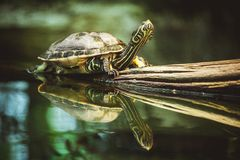 Turtle sitting on branch reflection in water Stock Images