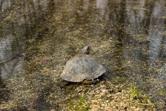 Turtle. Royalty Free Stock Image