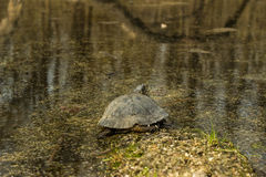Turtle. Royalty Free Stock Photo