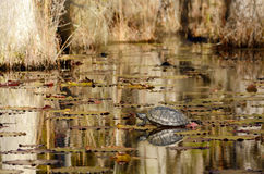 Turtle sitting on a log in the swamp. Stock Photo