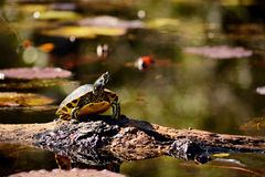 Turtle sitting on a log in the swamp. Royalty Free Stock Images
