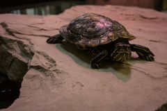 Turtle sitting on stone with red light shining. Indoor Royalty Free Stock Photos