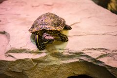 Turtle sitting on stone with red light shining. Indoor Stock Image