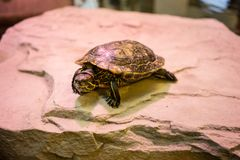 Turtle sitting on stone with red light shining. Indoor Royalty Free Stock Photo