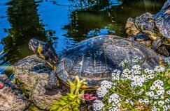 Turtle sitting on the stones near water. In sunny day royalty free stock photo