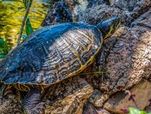 Turtle sitting on the stones. In sunny day royalty free stock photo