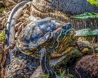 Turtle sitting on the stones. In sunny day royalty free stock photography