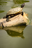 The turtle. Royalty Free Stock Image